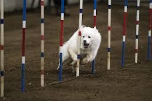 Tulsa Dog Training Club Agility Trial